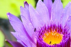 诱使昆虫的莲花开花和水下来对莲花 图库摄影