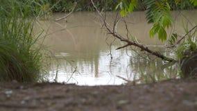诱使的奥里诺科河鳄鱼,Wisirare公园,哥伦比亚 股票录像