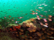 诱饵鱼玻璃状转移 免版税图库摄影