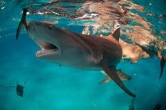 诱饵鲨鱼 免版税图库摄影