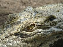 说的鳄鱼胆敢,如果您来这里 免版税库存照片