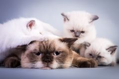 说谎与她的小猫的乏味和疲倦的苏格兰猫 图库摄影