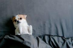 说谎与转动的困奇瓦瓦狗狗面朝上的下面毯子 图库摄影