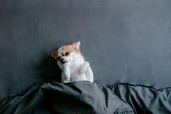 说谎与转动的困奇瓦瓦狗狗面朝上的下面毯子 免版税库存图片
