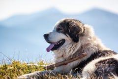 说谎反对蓝色山的护羊狗 库存图片