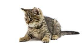 说谎和看在白色背景的逗人喜爱的平纹褐色小猫左边 孩子动物和可爱的猫概念 免版税库存照片