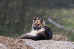 说谎在一个干草堆的护卫犬在围场 在干草的护羊狗 狗在饲槽 免版税图库摄影