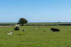 说谎在一个绿色领域的黑母牛在海岸附近 库存图片