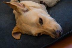 说谎在一个蓝色枕头的狗的画象 图库摄影