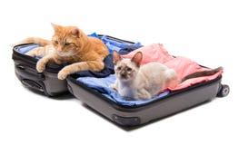 说谎在一件开放行李的一只大姜虎斑猫和暹罗小猫 免版税库存图片