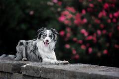 说谎在一块石板材的迷人的博德牧羊犬反对一棵开花的树的背景 免版税库存照片