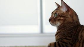 说谎在一张绿色粗野的地毯的一只美丽的棕色纯血统孟加拉猫的画象 影视素材