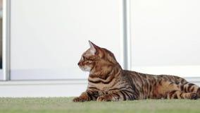 说谎在一张绿色粗野的地毯的美丽的棕色纯血统孟加拉猫室内 股票录像