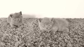 说谎在一张软的地毯,拷贝空间的英国Shorthair小猫 股票录像