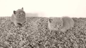 说谎在一张软的地毯,拷贝空间的英国Shorthair小猫 影视素材