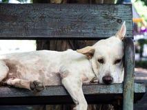 说谎在一把椅子的白色流浪狗在庭院里 免版税库存照片