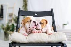 说谎在一把软的椅子的牛头犬的两只俏丽的小狗 免版税库存图片