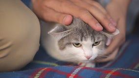 说谎在一条蓝色毯子的蓬松猫 抚摸一只猫用他的手的人和女孩