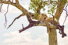 说谎在与垂悬在大草原的两个爪子的一个分支的豹子 免版税图库摄影