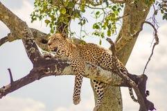 说谎在与垂悬在大草原的两个爪子的一个分支的豹子 免版税库存照片
