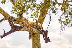 说谎在与垂悬在大草原的两个爪子的一个分支的豹子 免版税库存图片