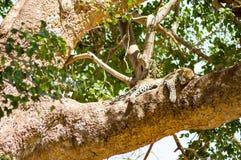 说谎在与垂悬在大草原的两个爪子的一个分支的豹子 库存照片