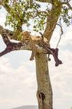 说谎在与垂悬在大草原的两个爪子的一个分支的豹子 库存图片