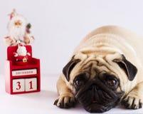 说谎在与新年日历的白色背景的一个哀伤的哈巴狗 免版税库存照片