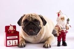 说谎在与新年日历的白色背景的一个哀伤的哈巴狗 库存图片