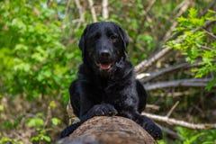 说谎在与绿色叶子的一个树干的黑拉布拉多狗在背景中 免版税图库摄影