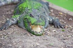 说谎在与绿色水生植物的地面的鳄鱼皮肤鳄鱼的-选择聚焦 免版税库存照片