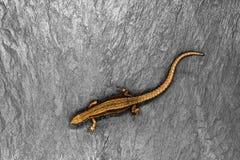 说谎在与自由空间的白色石背景的古铜色蜥蜴 锋利和宏观观点的蜥蜴从上面 免版税库存图片
