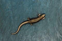说谎在与自由空间的蓝宝石背景的古铜色蜥蜴 锋利和宏观观点的蜥蜴从上面 免版税图库摄影