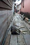 说谎在两个房子之间的木板走道的困狗 免版税库存照片