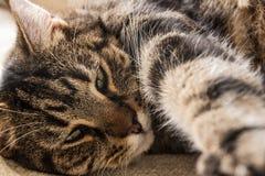 说谎在他的边的懒惰虎斑猫延伸往照相机的一个爪子 库存图片