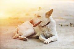 说谎在公园的一条白色狗 免版税库存照片