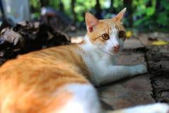 说谎在地板上的一只可爱的棕色猫 库存照片