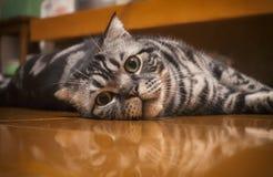 说谎在地板上的凝视猫 库存图片
