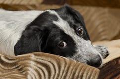 说谎在地板上的哀伤的小狗 免版税库存图片