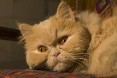 说谎在地板上的幼小棕色猫 免版税库存照片