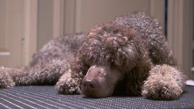 说谎在地毯的长卷毛狗 股票视频