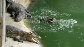 说谎在地面上的哺养鳄鱼在绿色湿软的河附近在动物园里 泰国 聚会所 影视素材
