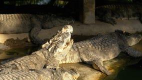 说谎在地面上的哺养鳄鱼在绿色湿软的河附近在动物园里 泰国 聚会所 股票录像