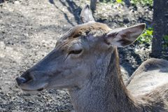 说谎在地面上的幼小鹿 免版税库存图片