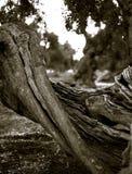说谎在地面上的老橄榄破裂的树干  免版税库存照片