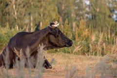 说谎在地面和神色的一头黑母牛对边 免版税库存照片