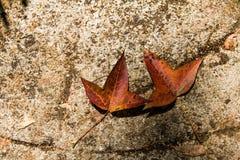 说谎在地面的下落的秋天五颜六色的槭树叶子 免版税库存图片