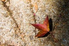 说谎在地面的下落的秋天五颜六色的槭树叶子 库存照片