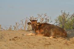 说谎在地面的小牛 免版税库存图片