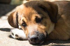 说谎在它的爪子的一只小棕色小狗 库存照片